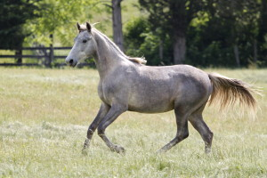 Pearl Jam is a gray 2014 filly by Secret Sam